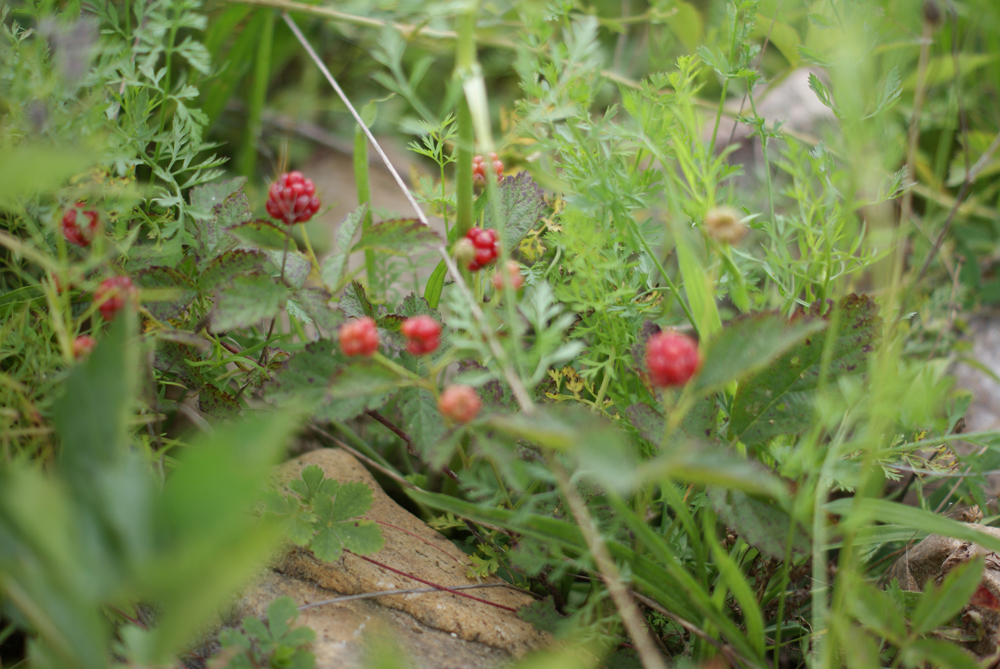 wild dewberries