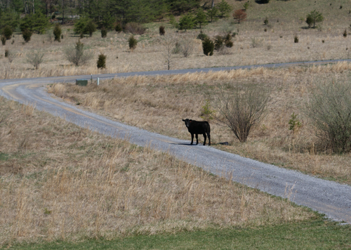 cow in the boonies