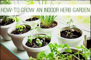 How to Grow Herbs Indoors