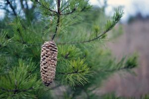 Pinecone bird feeder {101 Days of Christmas}