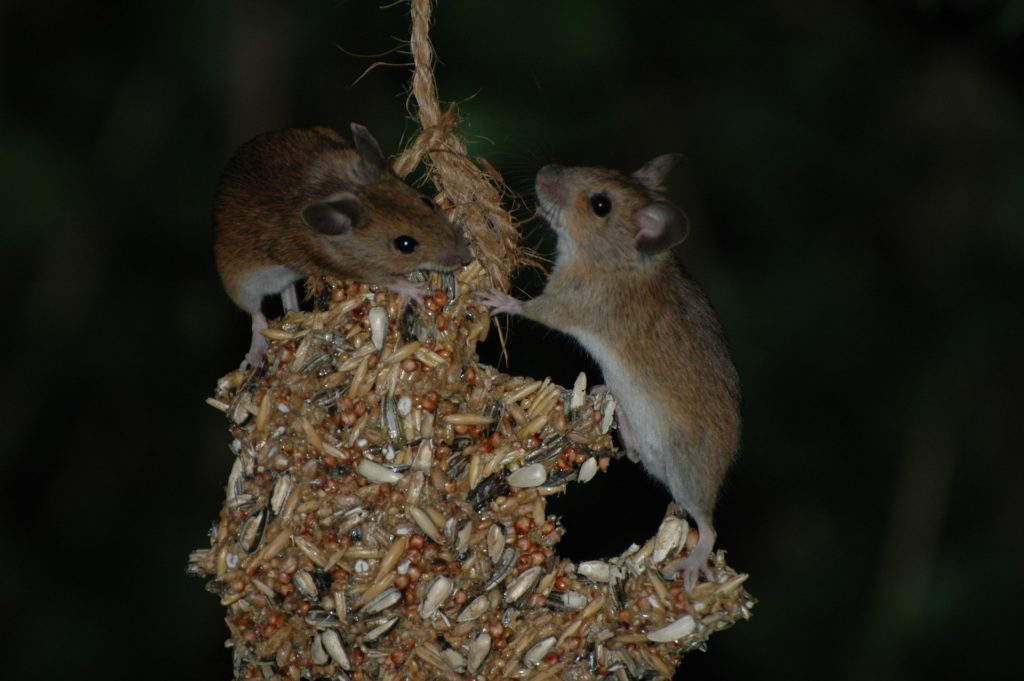 Mice on bird feeder