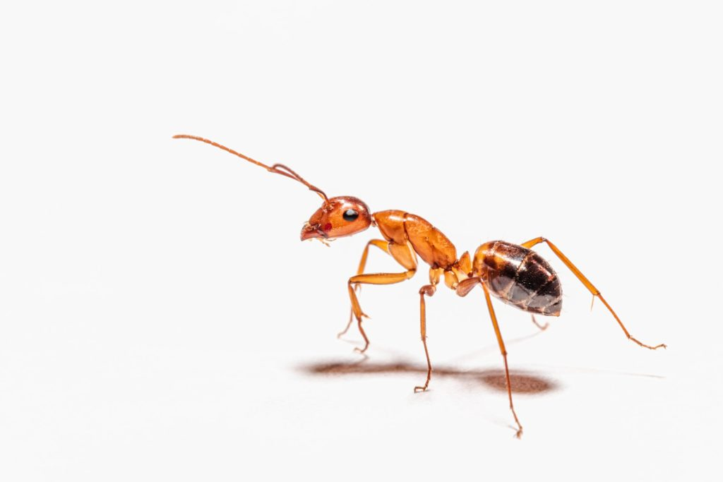 Carpenter ants can damage your home