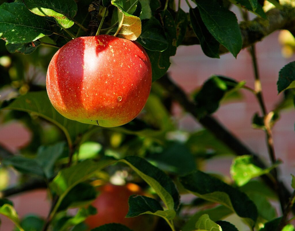 Apples for a healthy gut