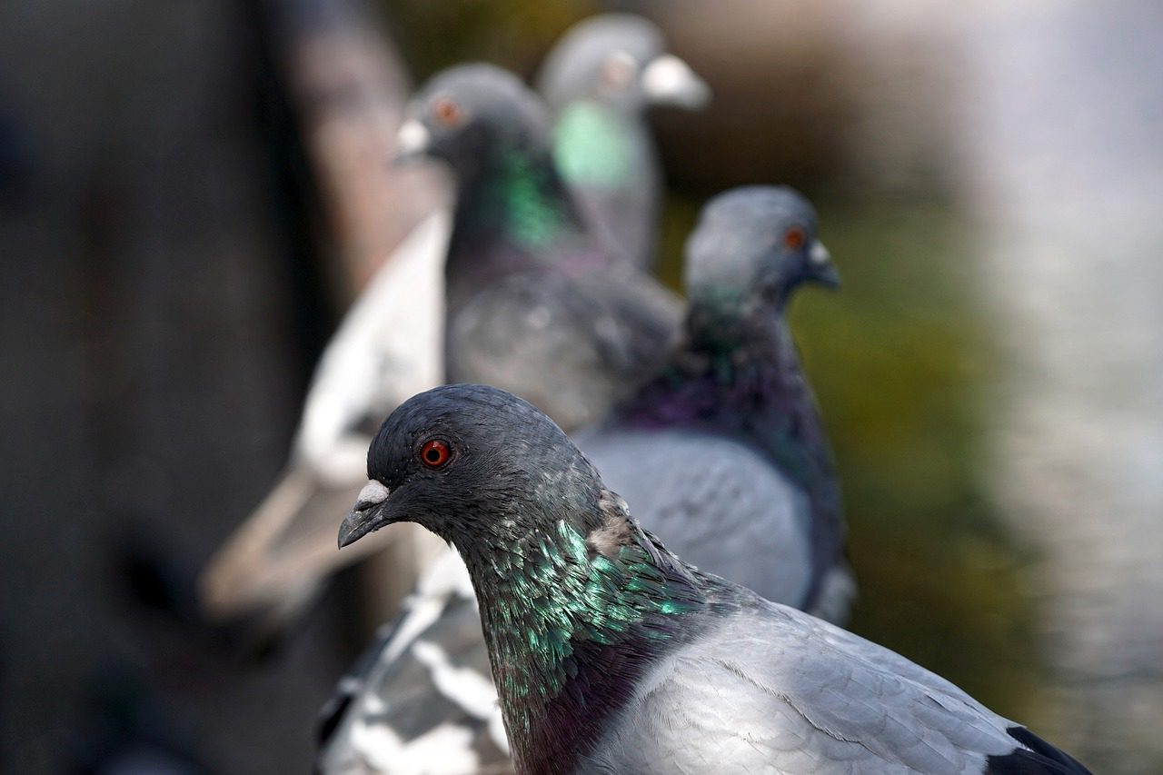 You are currently viewing Are There Any Home Remedies to Keep Pigeons Away?