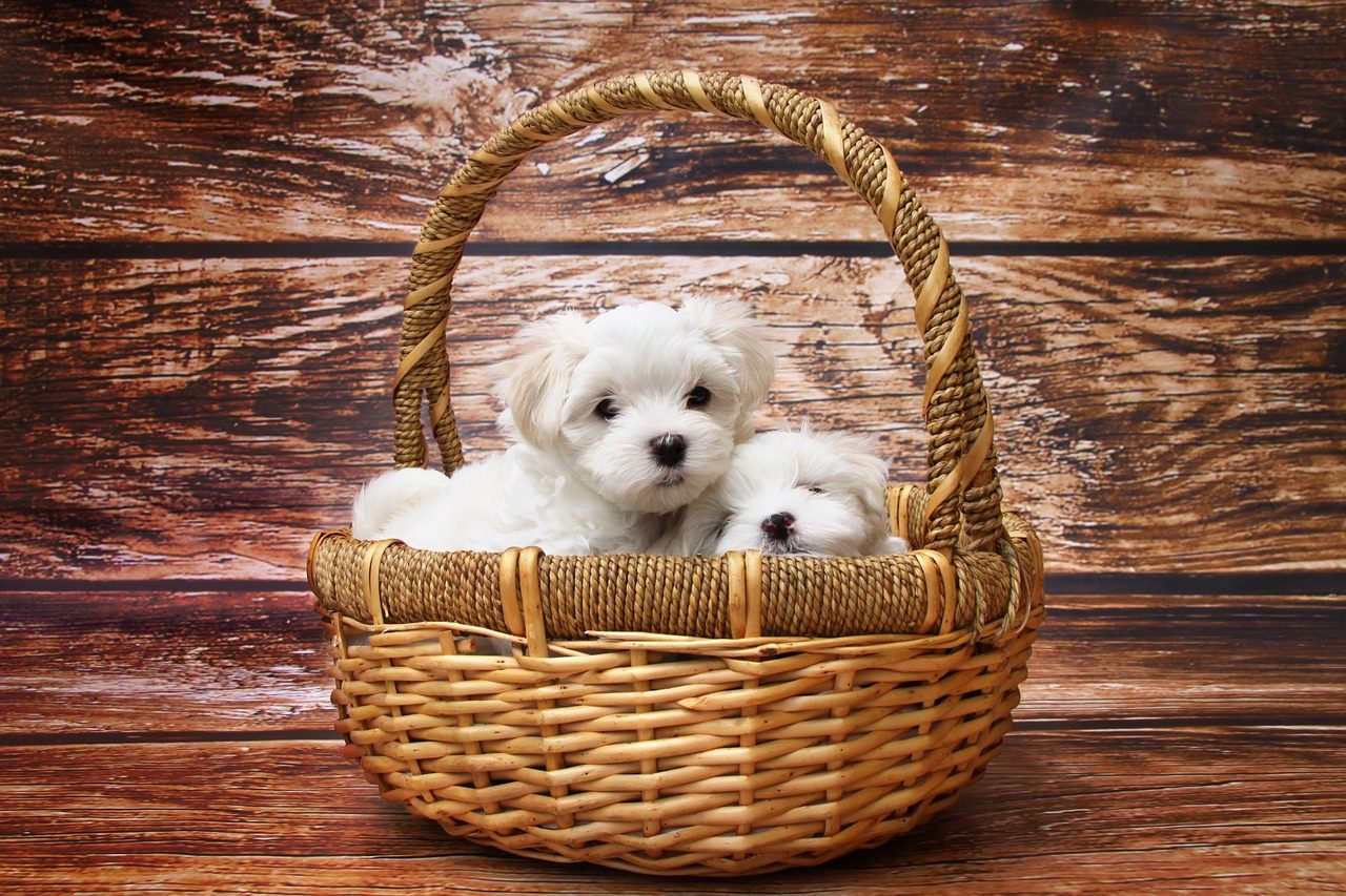 You are currently viewing Breeder, Pound or Rescue – Where to Go for A Puppy