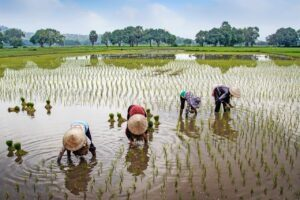 Read more about the article Importance of Rice Cultivation for the World