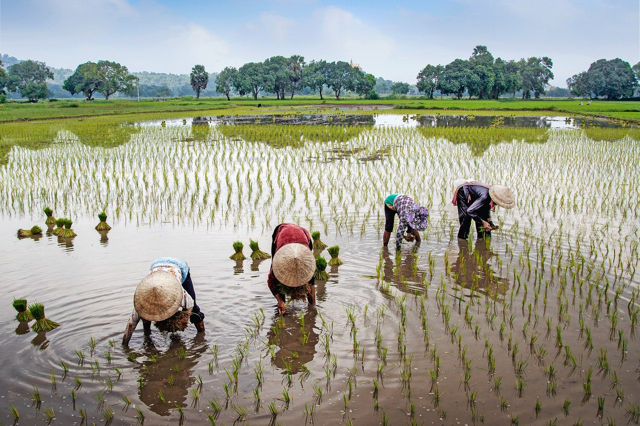 You are currently viewing Importance of Rice Cultivation for the World